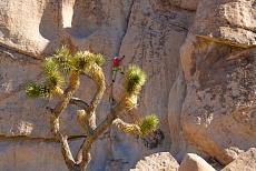 Baum im Joshua tree desert im Joshua tree National Park in Kalifornien