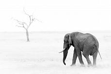 Elephant a Bull