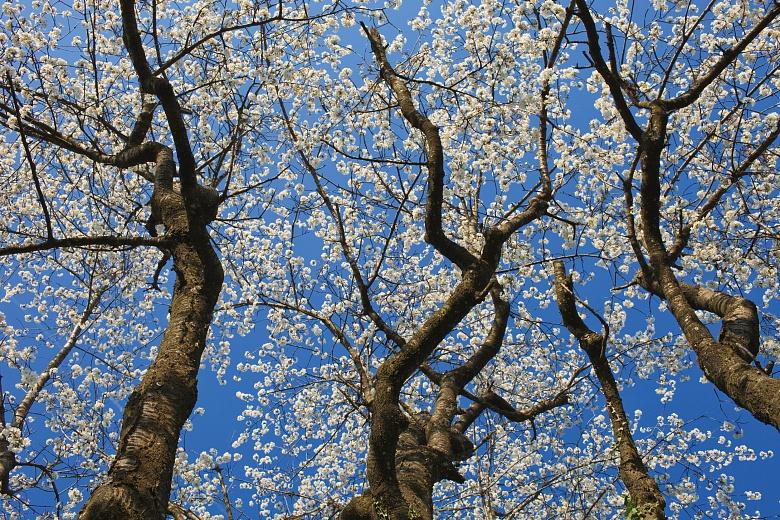 Kirschbaum Krone