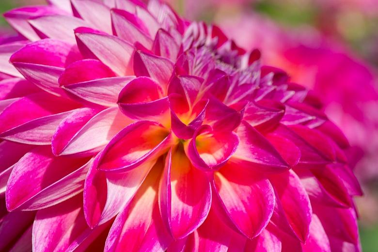 Dahlienblüte 1