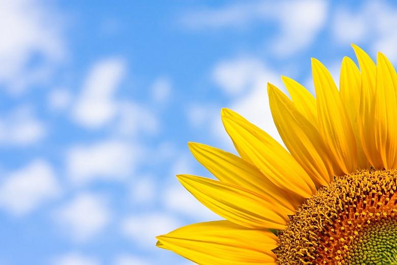 Sonnenblume im Eck