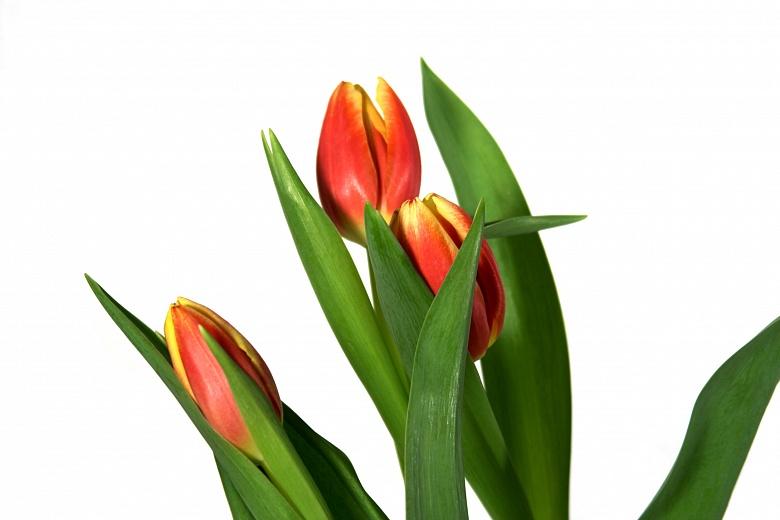 Tulpengruppe II
