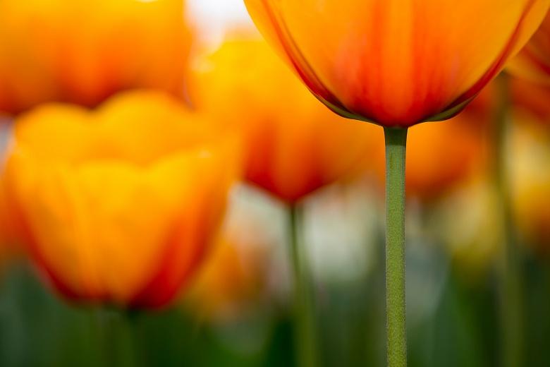 Orange Kelche