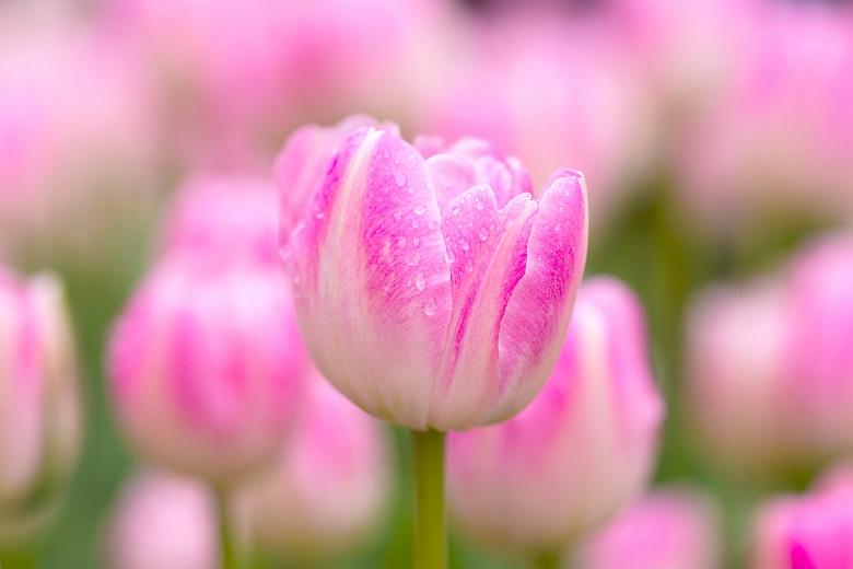 Girl's Tulip