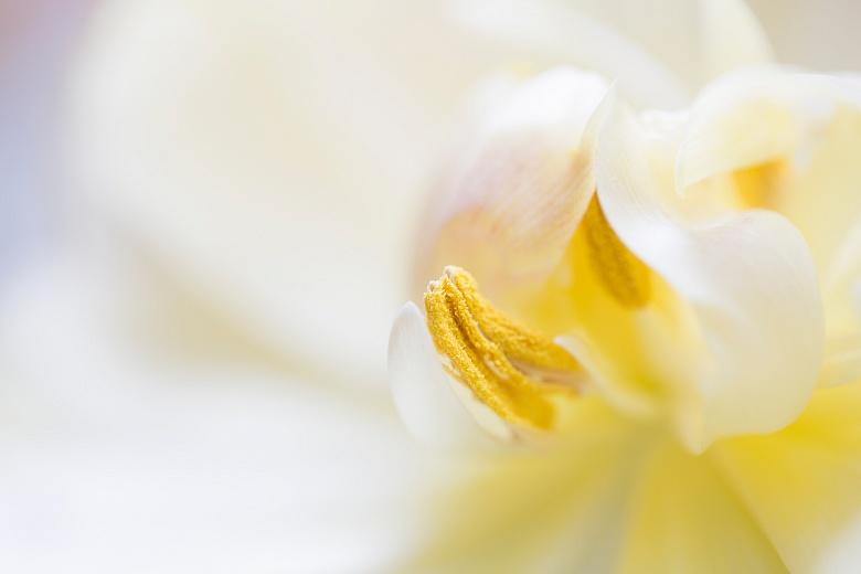 Tulpeninneres