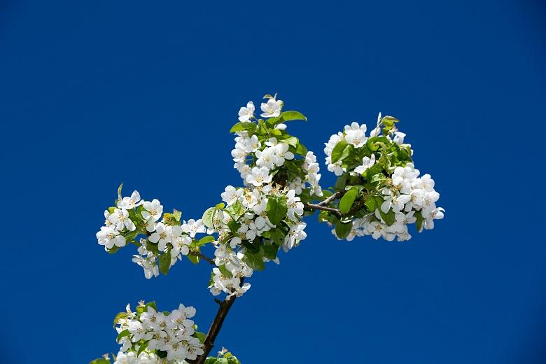 Apfel Blüte