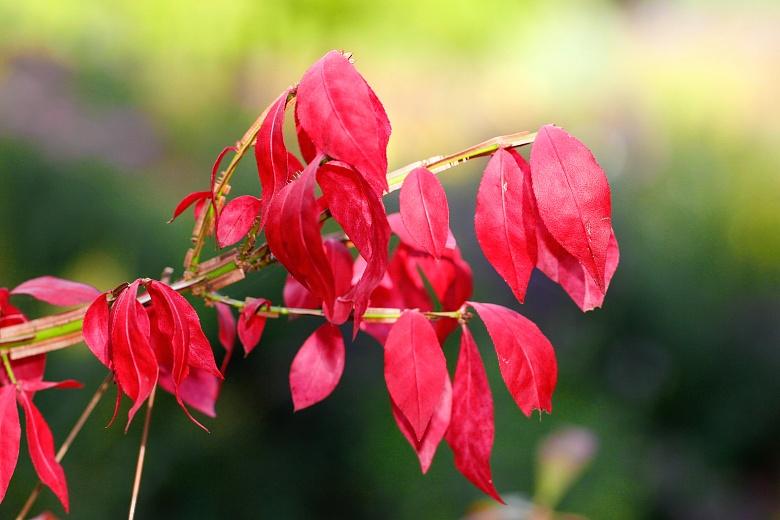 Roter Essigbaum
