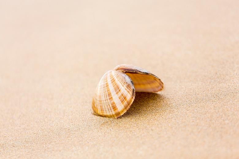 Die Muschel am Strand