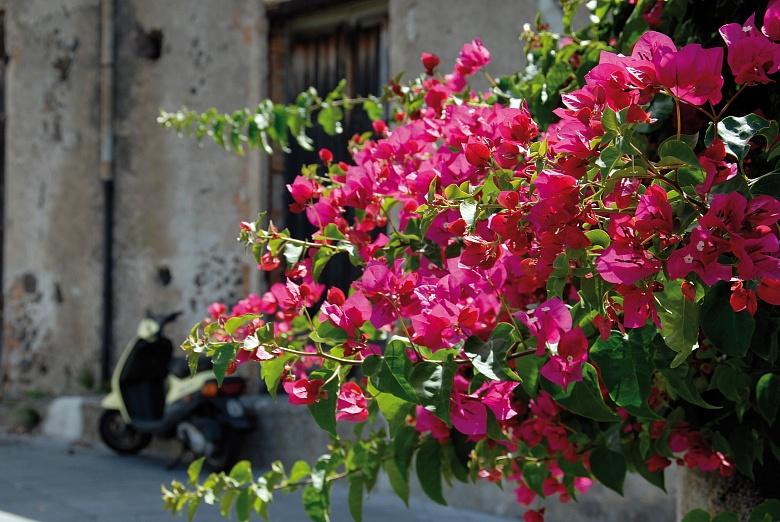 Blüten, Salina Malfa