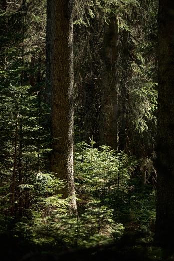 Tannenwald von Dagmar Schneider