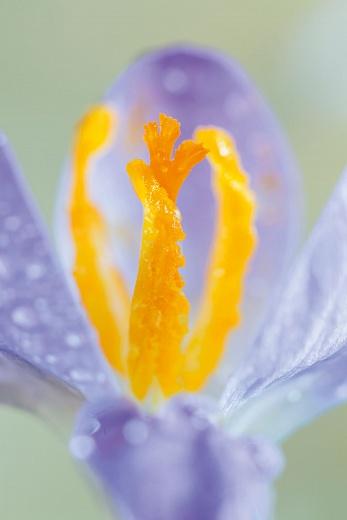 Blütenstempel Krokus