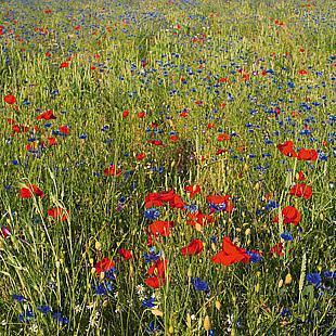 Blumenwiesen