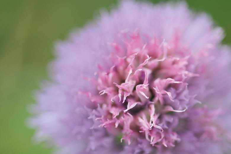 Zartlila Blüte