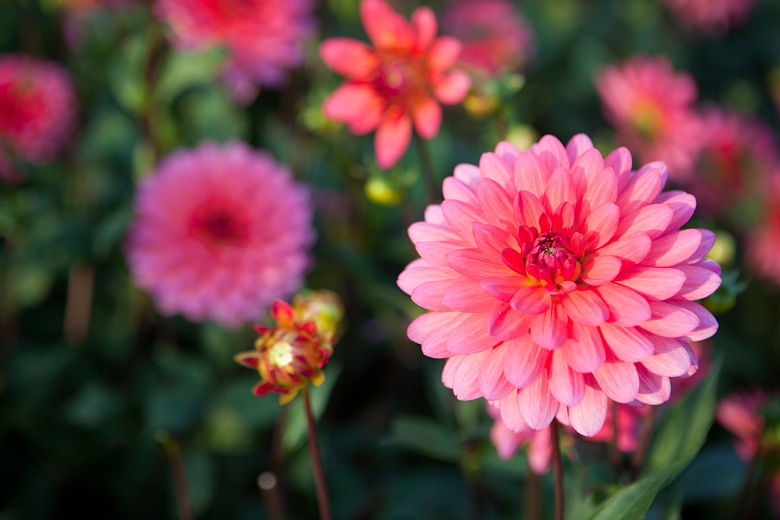 Dahlie pink 1