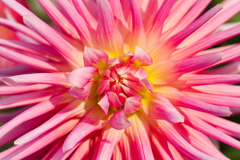 Dahlienblüte 3