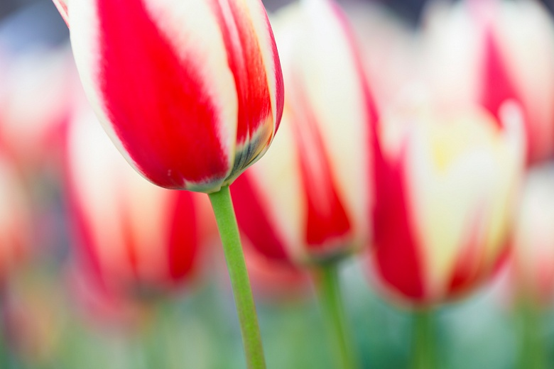 Tulpe Rot-Weiss