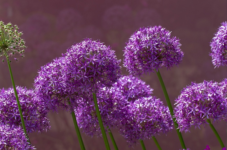 Allium 1